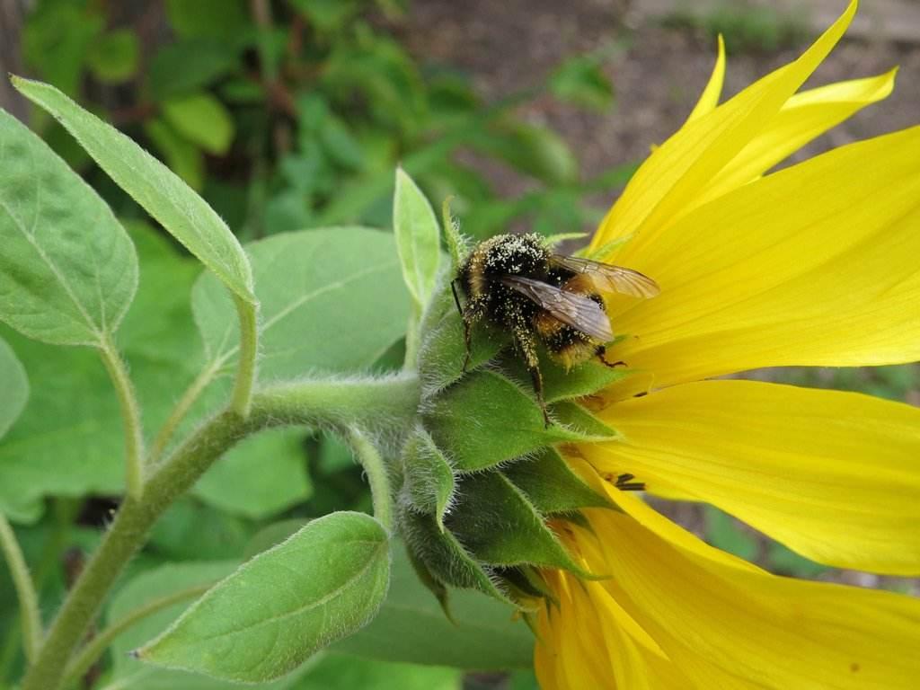 pollen overdosed bee